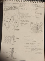 16558606_10203222030788575_981303162_n (maddiejohnson11) Tags: dogfish labnotebook2 dogfishbrain dogfishgills gillsystem dogfishcrosssection crosssection muscles