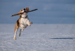 Beagle dog running in the snow (androsoff) Tags: beagle brown cute dog ears eyes field friend funny meadow sun white winter animal background beautiful breed canine clean cold doggy domestic environment frost fun head hound hunting look mammal nobody nose one outdoor park pedigree pet play playful portrait pure purebred reflection run shadow snow