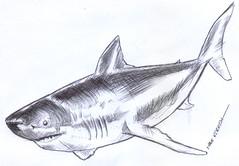 tiburon a lapicero (ivanutrera) Tags: tiburon animal draw dibujo drawing dibujoalapicero boligrafo lapicero sketch sketching shark ilustracion drawballpointpen sea seaworld dibujoaboligrafo