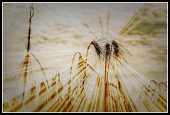 Harvest (patrick.verstappen) Tags: ipernity ipiccy inspiration hope summer nikon d7100 sigma photo picassa pinterest pat picmonkey hdr field sun harvest flickr facebook plants