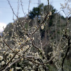 Plum blossom (mitsumine_884) Tags: rolleiflex35fplanar rollei rolleiflex toyota 豊田 aichi 愛知 japan 日本 fuji fujifilm fujicolor pro400h