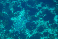 20150829-DSC_9434.jpg (d3_plus) Tags: sea sky fish beach japan scenery underwater diving snorkeling  seaturtle shizuoka    apnea izu j4  waterproofcase    skindiving minamiizu        nikon1 hirizo  1030mm  nakagi 1  nikon1j4 1nikkorvr1030mmf3556pdzoom beachhirizo misakafishingport  1030mmpd nikonwpn3 wpn3