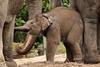 Sunay (K.Verhulst) Tags: elephant rotterdam blijdorp elephants nl blijdorpzoo olifanten diergaardeblijdorp sunay rotterdamzoo aziatischeolifant asiaticelephants aziatischeolifanten