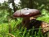 Mushroom hut (russula species) (mykalc) Tags: nature mushroom forest germany moss pinecone gnomes elves russula nurburgring mushroomsandracecars