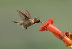 Trumpet Vine Hummingbird (snooker2009) Tags: summer bird nature hummingbird pennsylvania wildlife flight ruby migration hummer hovering hover throated