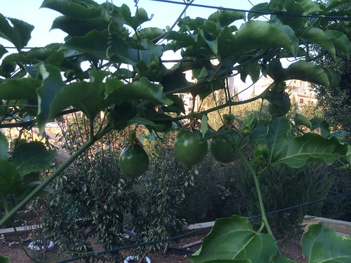 Passion Fruits  July 2015