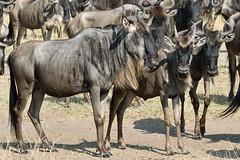 Masai Mara Wildebeest-1 (johnaalex) Tags: kenya wildlife maasai wildebeest masaimara d810 nikonafs80400f4556gwithtc14eii
