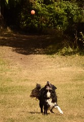 (Ian Threlkeld) Tags: canada cute dogs nikon flickr bc britishcolumbia awesome august canine explore pacificnorthwest catch westcoast pnw ff irt penderisland nikonphotos adogslife beautifulbc dogsatplay southerngulfislands thievesbay nikonphotography dogsofflickr nikonphoto nikonphotographers explorebc d7000 nikontop