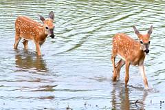 Fawn Crossing (NaturalLight) Tags: water twins crossing fawn kansas wichita whitetail chisholmcreekpark