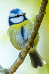 Do you know you are sweet? (Karoline Asp) Tags: bird nature animal norway nikon bokeh outdoor wildlife bluetit blmeis d7100 cyanistercaeruleus