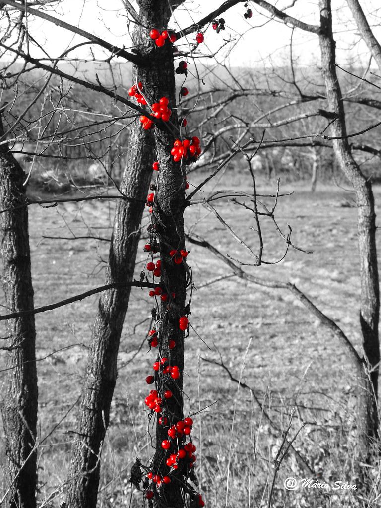 Águas Frias (Chaves) - ...as bagas vermelhas ...