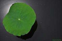 Hoa sen (Ct ng) Tags: summer flower lotus   sen hoa       hoasen bng mah bngsen
