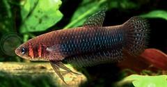 ปลากัดเฮนดร้า และ ปลากัดค็อกซินา หน้าตายังไงไปดูกัน