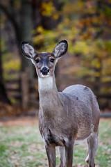 BLUE RIDGE PARKWAY FALL 2015, VIRGINIA (tvipperm) Tags: autumn fall mill nature virginia wildlife deer blueridgeparkway mabry