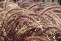 Grasses in the Sun (Read2me) Tags: she cye autumn many grass dof thechallengefactory game winner bigmomma pregamesweepwinner duele friendlychallenges perpetualchallengewinner