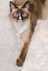 Simeamese cat (CarmenSisson) Tags: usa pet animal mobile cat feline alabama siamese domestic shorthair twinkie shorthaired coden