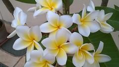 Flores Jardinagem Verde Jasmim-Manga Orqudea Green Flor Flower (PARANOARTE) Tags: flowers flores verde flor orqudea jasmimmanga jardinagem