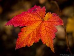 Leav (.Gu) Tags: trees color tree colors forest fallcolors haust fa tr leav skgur haustlitir gu ogud olafurragnarsson lafurragnarsson