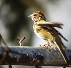 Lark Sparrow Madrona Marsh 2111 (pekabo90401) Tags: fence sparrow birdwatching lightroom larksparrow chondestesgrammacus madronamarsh southerncaliforniabirds sx50 canonsx50 birdwatchinglosangeles pekabo90401 birdsofmadronamarsh