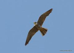 IMG_8606. HOBBY (Falco subbuteo) adult (Nick Ransdale (http://www.nick-ransdale.com/)) Tags: adult hobby falcosubbuteo