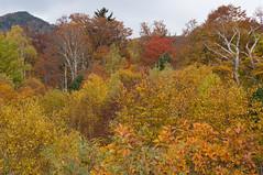 Okushiga Kogen (bamboo_sasa) Tags: autumn leaves japan 日本 紅葉 秋 nagano shigakogen shinshu 長野 志賀高原 信州 奥志賀高原 okushigakogen