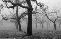 A misty November Morning in the Orchards. (andreasheinrich) Tags: november trees winter blackandwhite cold fog germany landscape deutschland moody nebel kalt landschaft bäume orchards badenwürttemberg blackandwhitephotos düster neckarsulm schwarzweis obstwiesen nikond7000
