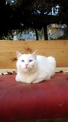 Tartar (Wajdi Hmissi) Tags: blue pet white cold cute home weather animal cat nokia eyes furry soft kitty snuggly furr