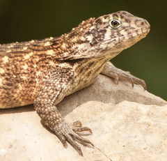Curly Tail Lizard Head and shoulders (phillipbonsai) Tags: cuba lizard jibacoa curlytailedlizard specanimal leiocephalidae cubanfloraandfauna