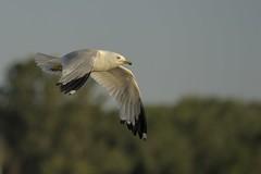nikon D700 / 70-200mm+TC-14 (Rich de Tilly utilisateur Nikon) Tags: bird nature animal nikon lumière couleurs attitude extérieur oiseau animalier d700 nikond700 naturesauvage afsvr70200mmf28 afs70200mmf28 oiseauxenvol