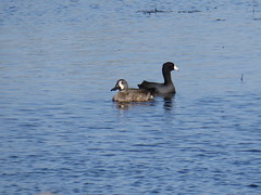 Blue-winged Teal and American Coot - Texas by SpeedyJR (SpeedyJR) Tags: nature birds texas wildlife teals nationalwildliferefuge nwr coots americancoot bluewingedteal anahuacnationalwildliferefuge anahuacnwr chamberscountytexas speedyjr 2015janicerodriguez