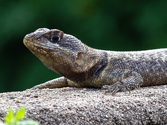 Calango-03 (lucaspevidor) Tags: vida natureza lagarto animais animals life nature lizards wild