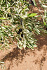 P1780243.jpg (brianduncan) Tags: garden malika atlas olives domaine