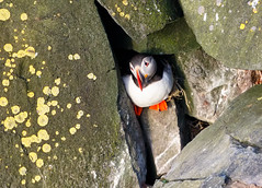 Puffin (Corey Hayes) Tags: atlantic puffin seabird hiding cute small rock face nesting colourful coreyhayes art