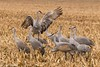 We fly this way (Ronda Hamm) Tags: nature wildlife outdoors fallmigration migration sandhillcranes cranes showoff canon 7dmarkii 100400mkii indiana wings birds animal
