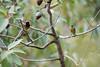 DSC_7486 (mylesm00re) Tags: africa hottentotshollandmountaincatchmentarea nectariniidae orangebreastedsunbird southafrica westerncape za bird