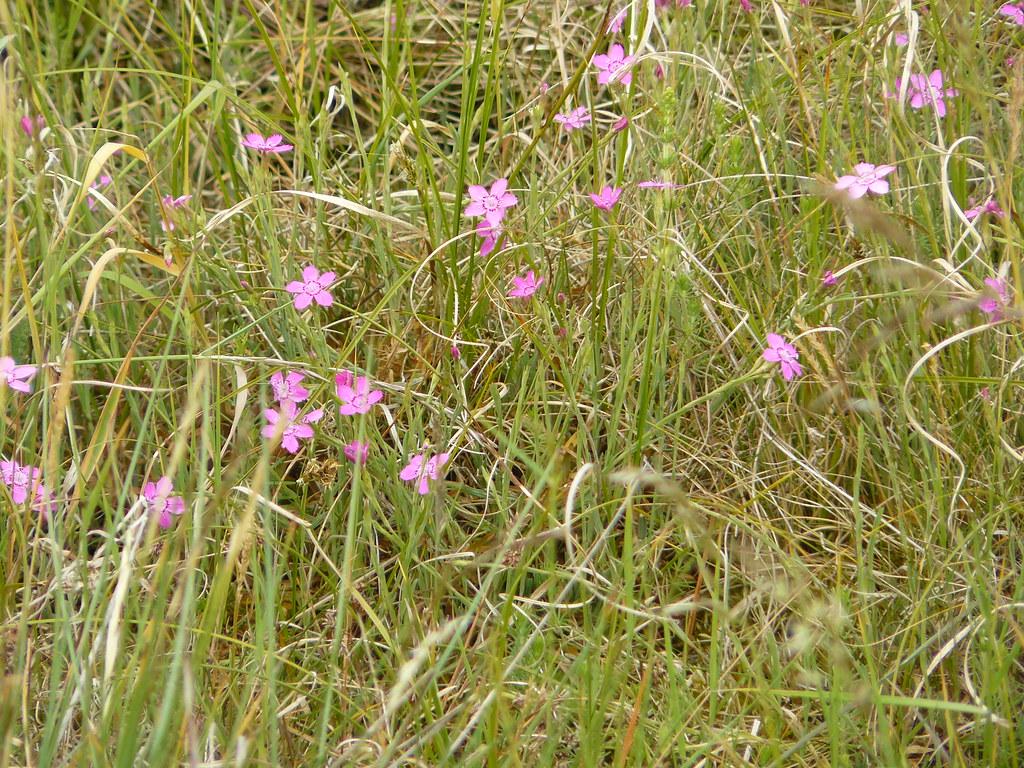 Dianthus deltoides- Heidenelke4