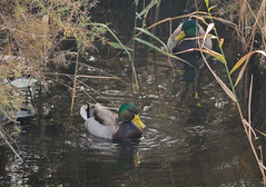 DSC_7289C4W (Montse Ponsa) Tags: aiguamolls aus aigua vegetacio ocell birds gi girona catalunya emporda