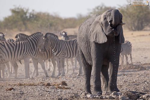 Elefants on a waterhole