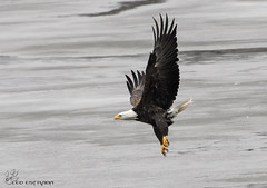 Bald Eagle. (Estrada77) Tags: nikon 200500mm january 2017 bald eagle fox river raptors distinguishedraptors winter wildlife birds birdsofprey