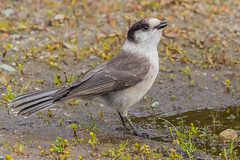 Gray Jay (Perisoreus canadensis) at watering hole - North Vancouver, BC (bcbirdergirl) Tags: nationalbirdofcanada canadasnationalbird grayjay whiskeyjack canadajay corvid whiskyjack greyjay perisoreuscanadensis waterringhole mountseymour northvancouver bc drinking jay