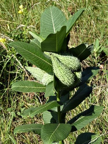 Aurora, IL, Lake Waubonsie State Park, Milkweed Plant Seed Pods