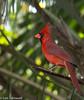 Cardinal in the Park - HWW (11Jewels) Tags: canon 70300 cardinal myakkariverstatepark sarasotafl florida wingwednesday