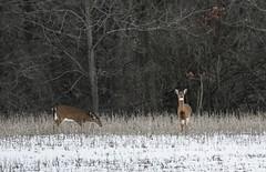 White Tail Deer (a56jewell) Tags: a56jewell dec winter deer whitetail whitetaildeer doe beanfield beans
