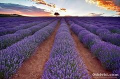 l1 (ivanmihalev) Tags: лавандула българия отбивки романтика залез lavender bulgaria travel otbivki