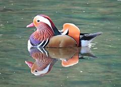 Mandarin duck (PhotoLoonie) Tags: mandarinduck duck mandarindrake wildlife britishwildlife nature colours feathers colourful