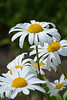 2015 06 21_d7100_0199 (swedgatch (Missing my Father)) Tags: swedgatch sweden summer stockholm art artistic angle photography photograph photo photographs photos photographer perspective pacific nikon nature d7100 tamron tiny tele take 90mm macro beautiful by beauty flowers flower dof