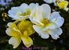 Happy new year. (ost_jean) Tags: nikon d5200 350 mm f18 ostjean madrid botanicalgardensmadrid fleurs bloemen colors yellow