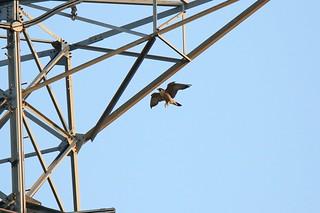 701_1778 遊隼 Peregrine Falcon