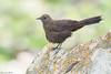 Boulder Chat (Pinarornis plumosus) (Brendon White) Tags: boulderchat pinarornisplumosus bird nature francistown tsamaya botswana nikon d7100 animal wildlife birdwatchers tantebane tantebanegameranch