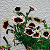 White and Red Petunias on White (Matthew Huntbach) Tags: white red petunias